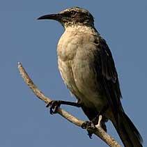Galapagos_mockingbird-sm